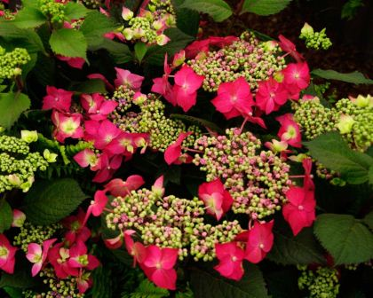 Gardensonline hydrangea macrophylla normalis lacecap hydrangea strawberries and cream has deep pink outer flowers and small creamy to light pink mightylinksfo