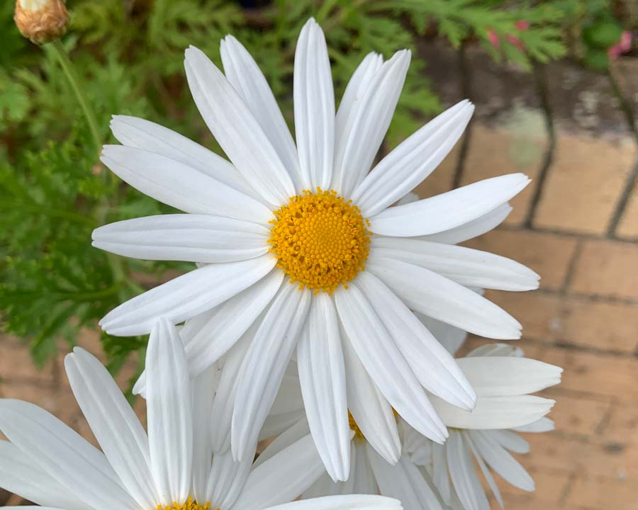 Argyranthemum-Foeniculaceum