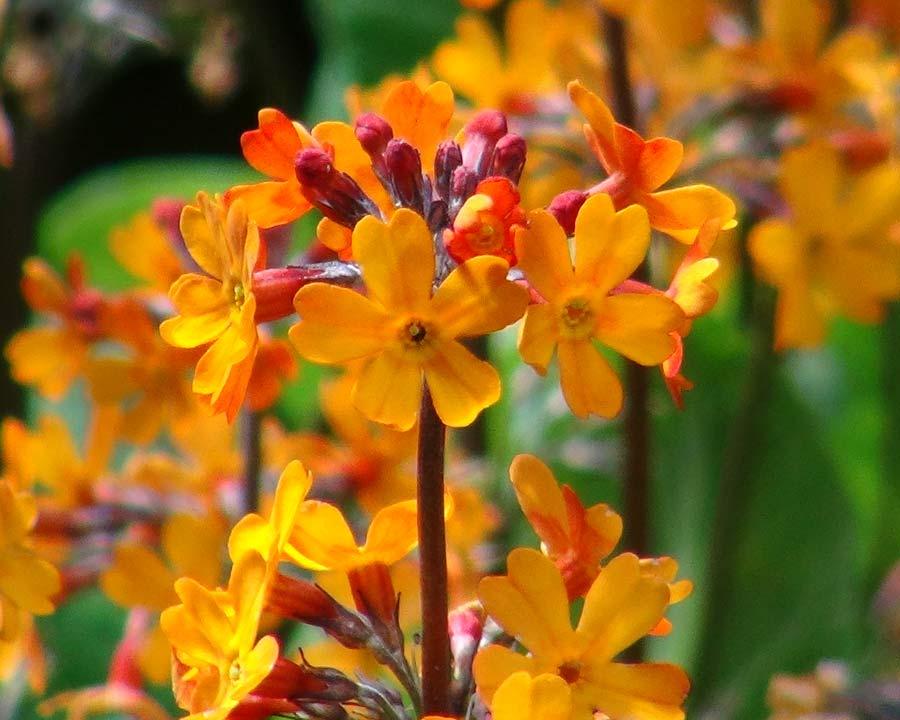Primula auriantiaca, orange flowers - part of the Candelabra Group