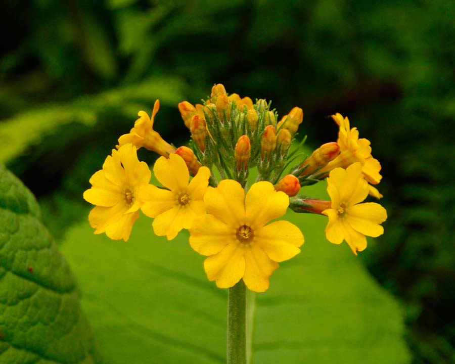 Primula bulleyana with yellow flowers part of the Candelabra Group