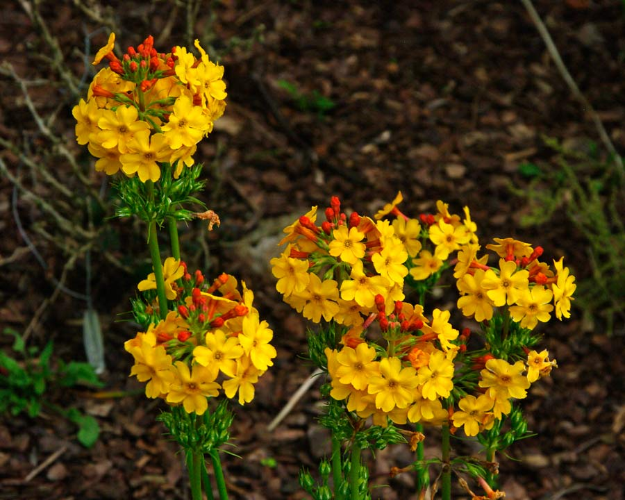 Candelabra primula with yellow flowers and red buds, possibly Primula bulleyana