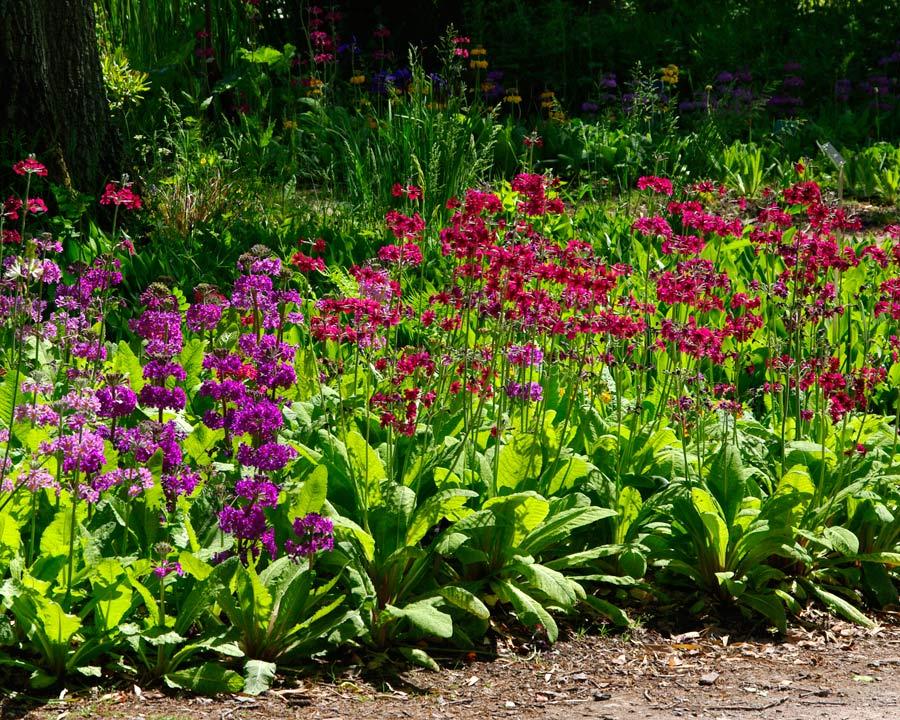 Primula Candelabra hybrids - colourful spring/summer border