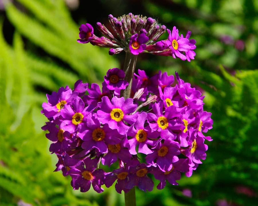 Candelabra primula with purple flowers possibly Primula beesiana