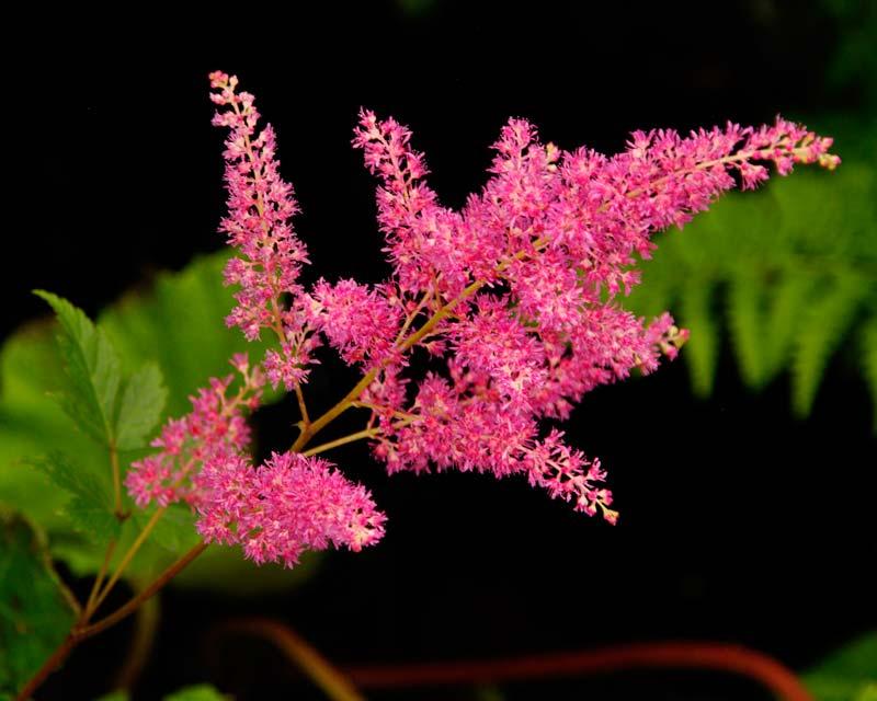 The bright pink fluffy plumes of Astilbe Rheinland ( Japonica hybrid)