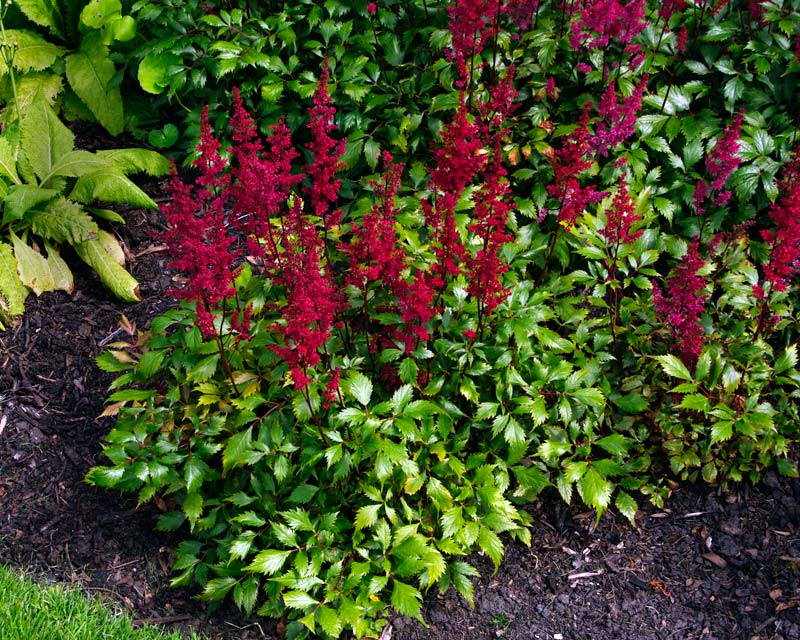 Astilbe japonica - Montgomery