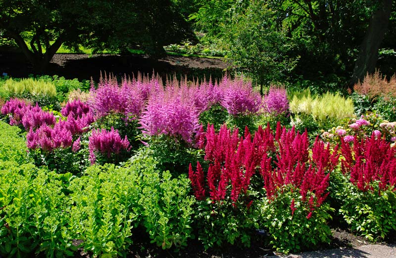 Astilbe hybrids create colourful border display - these are a mix of Japonica and Arendsii hybrids