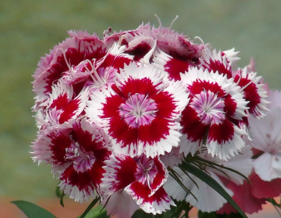Dianthus 'Holborn Glory' - clusters of white and red flowers