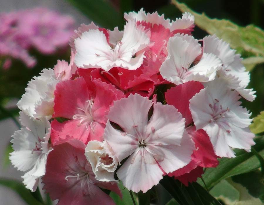 Dianthus 'Kaleidoscope' flowers open white and darken to pink and apricot as they age.