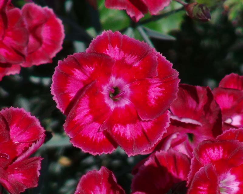 Dianthus hybrid - this is Brympton Red
