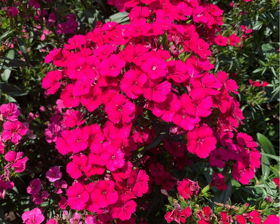 Dianthus 'Jolt' Hybrids