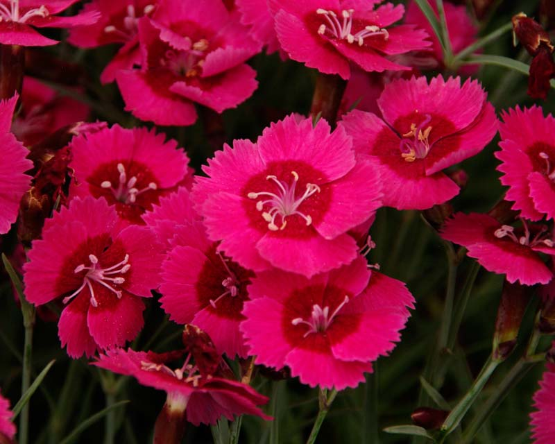Dianthus India Star - dwarf cultivar growing to 10cm - two tone pink and red flowers