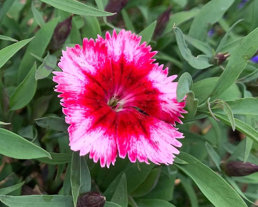 Dianthus 'Super Parfait'
