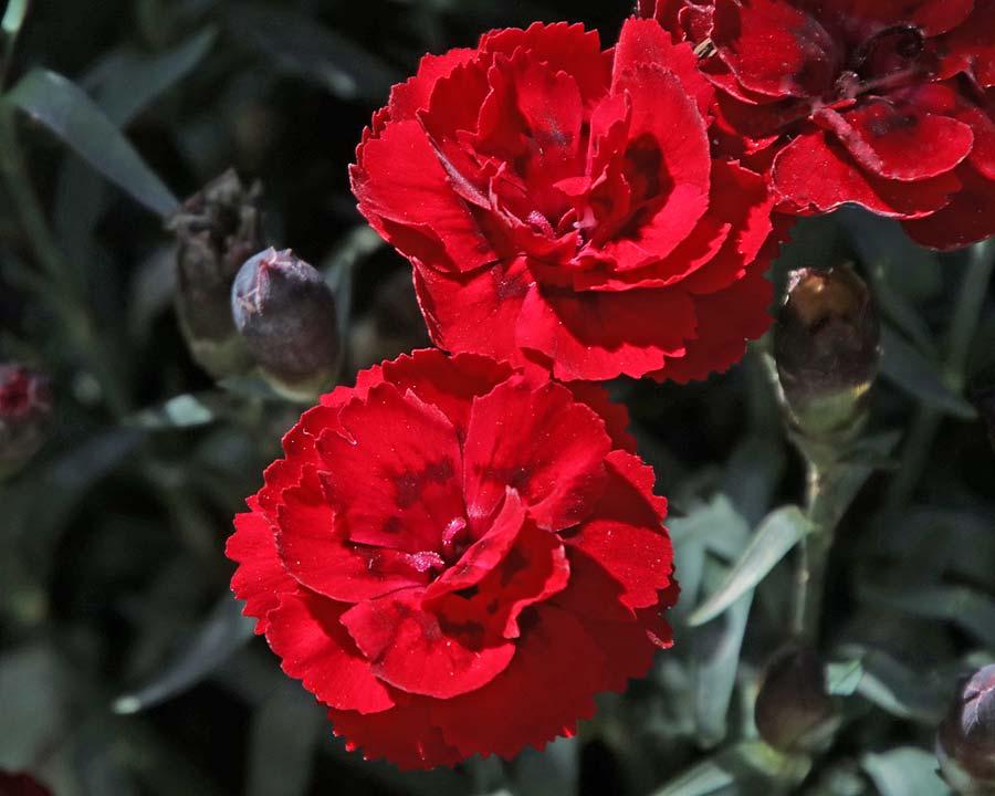 Dianthus 'Tenelke'