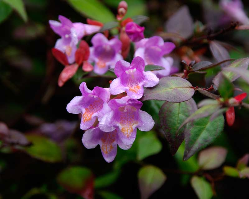 Abelia x Edward Groucher