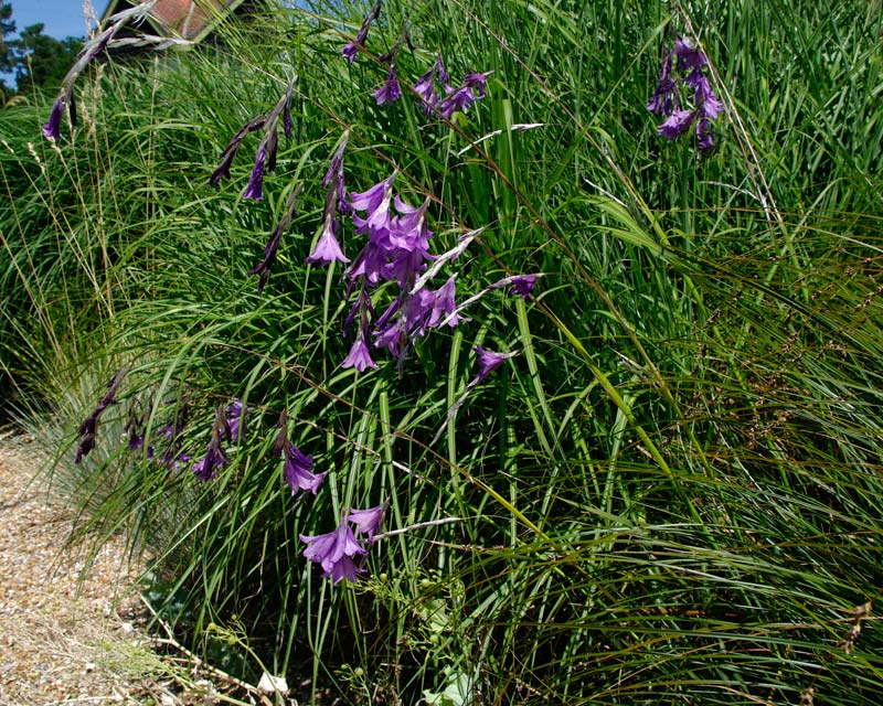 Dierama Blue Bell Rowblu - grows well on water's edge or along paths.