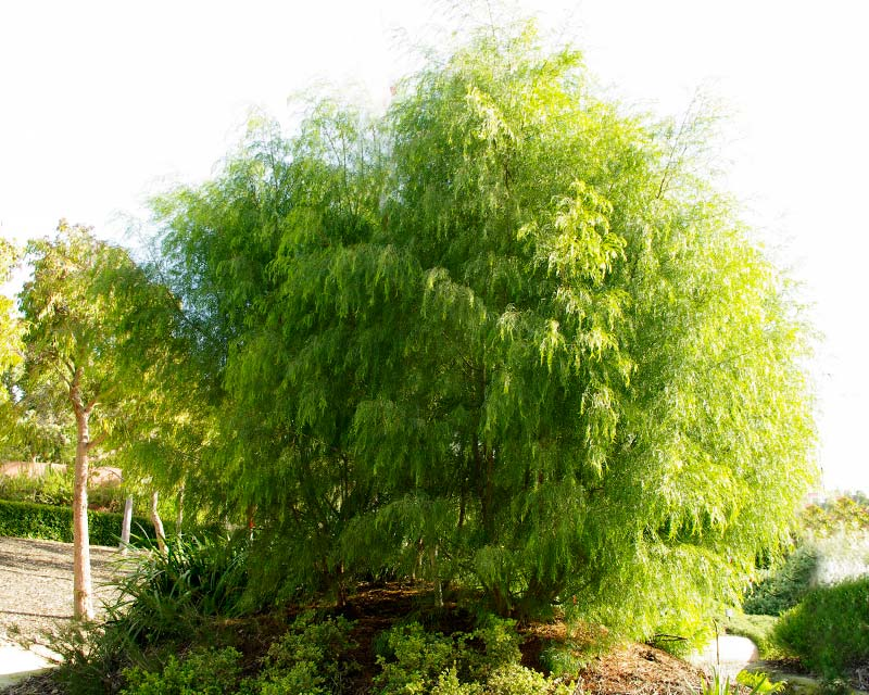 Acacia cognata Emerald Curl