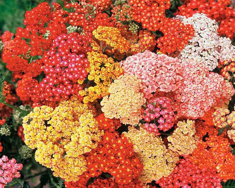 Achillea hybrids come in a wide variety of colours