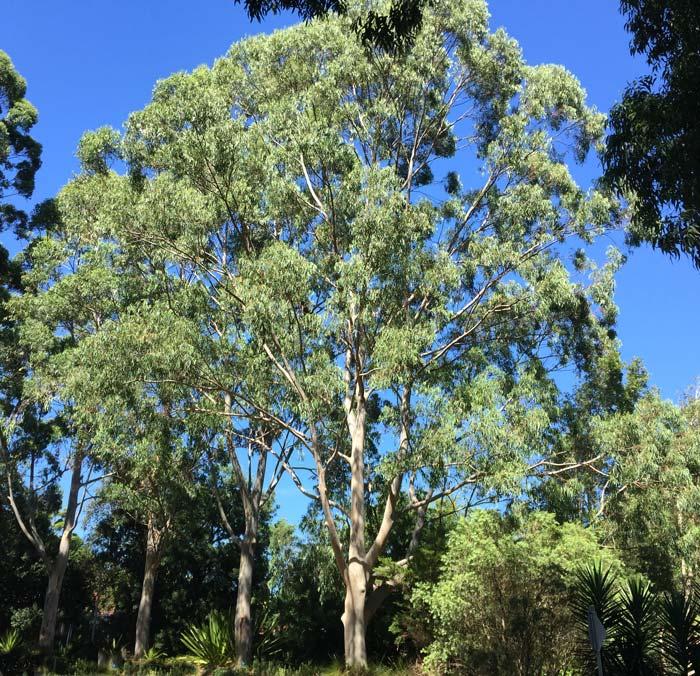 Eucalytpus saligna - Sydney Blue Gum - A large evergreen tree