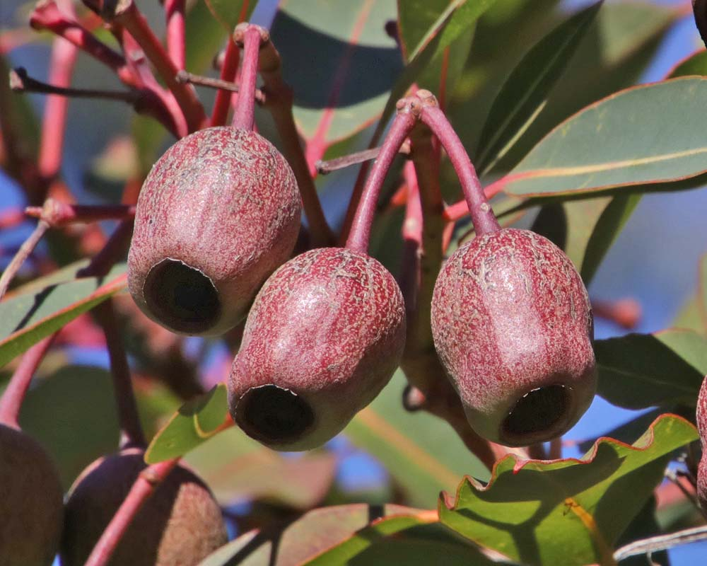 Corymbia nuts that follow the flowers - sometimes called Honky Nuts