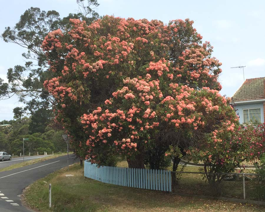 Corymbia 'Summer Beauty'