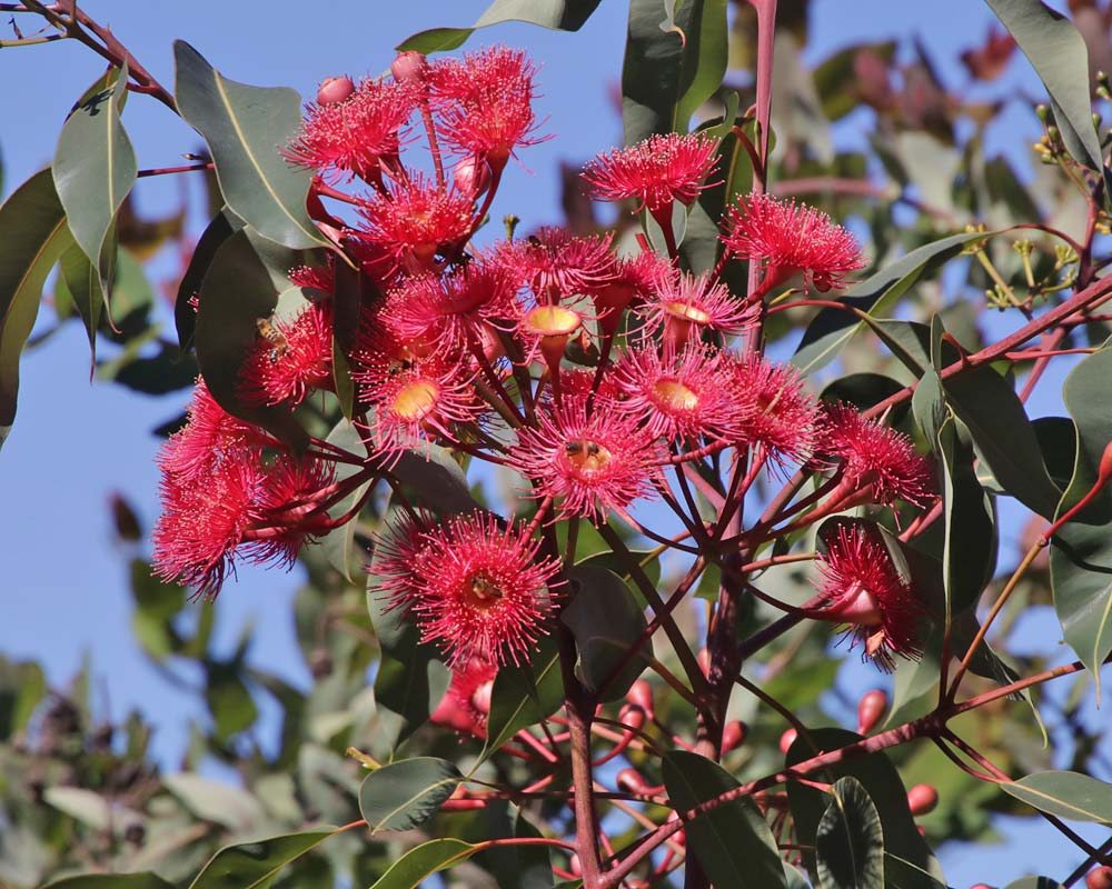 Corymbia 'Summer Red'
