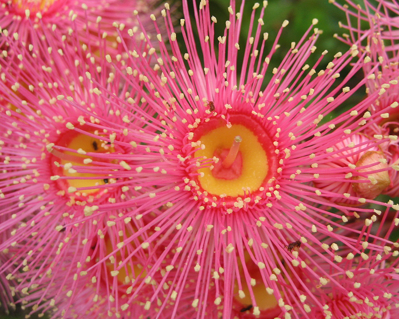 Corymbia cultivars 'Summer Beauty' Pink Flowers