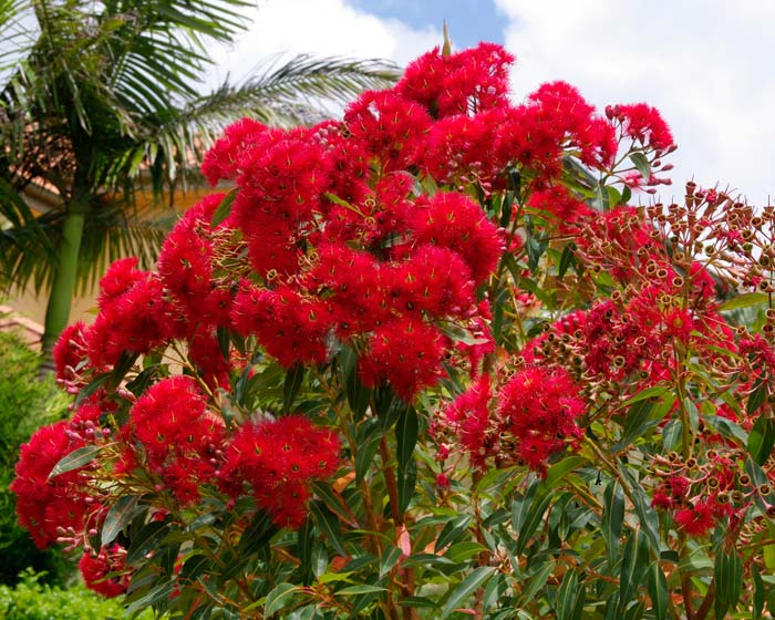 Corymbia cultivars 'Summer Red' Red Flowers