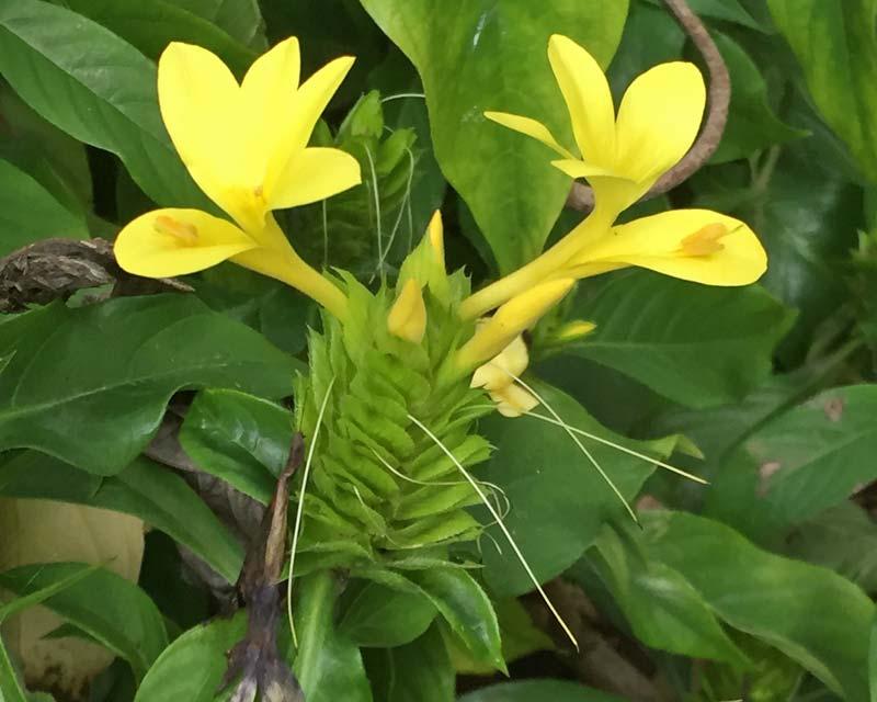 Yellow Barleria - Barleria micans