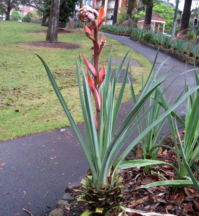 Beschorneria yuccoides - Mexican Lily