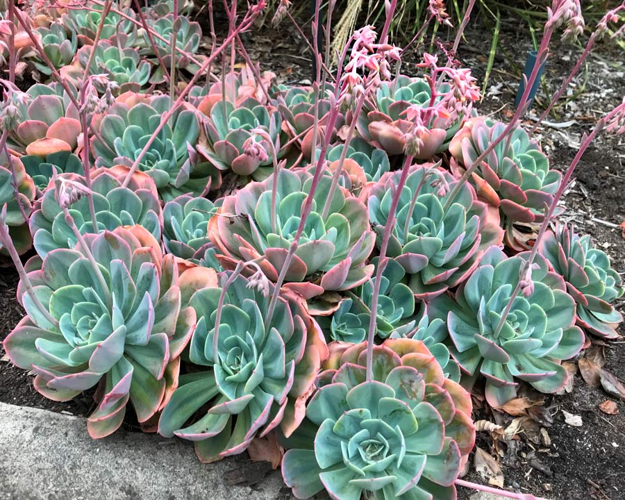 Echeveria imbricata , the Blue rose Echeveria
