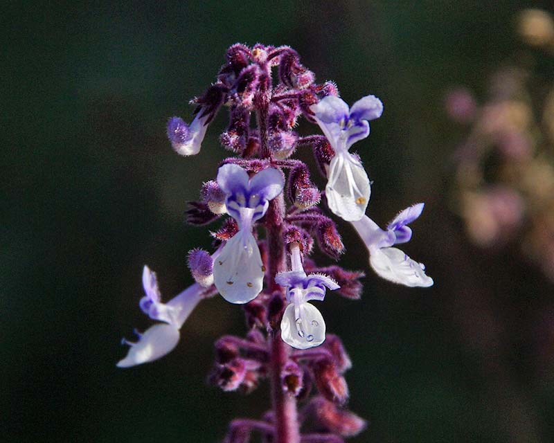 Plectranthus Argentatus or Silver Plectanthus