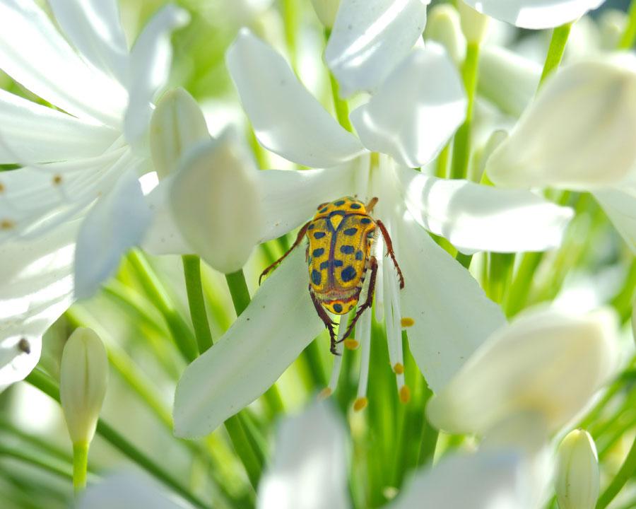 Agapanthus praecox Alba