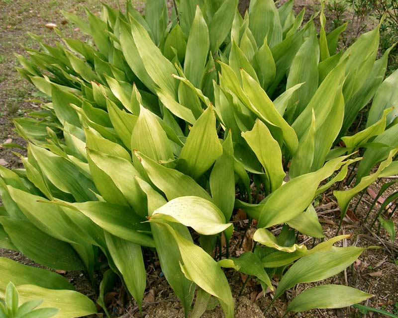 Aspidistra elatior, the Cast Iron Plant - photo Kenpei