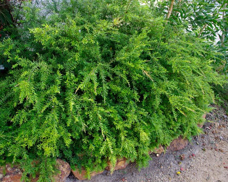 Austromyrtus dulcis 'Golden Tops' has coppery new growth