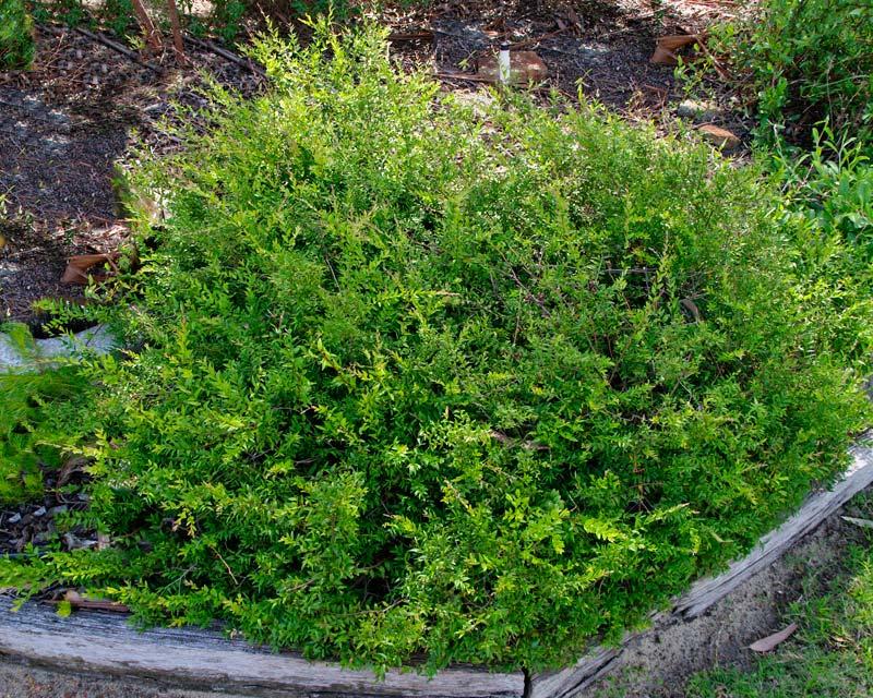 Austromyrtus dulcis - The Midyim Berry