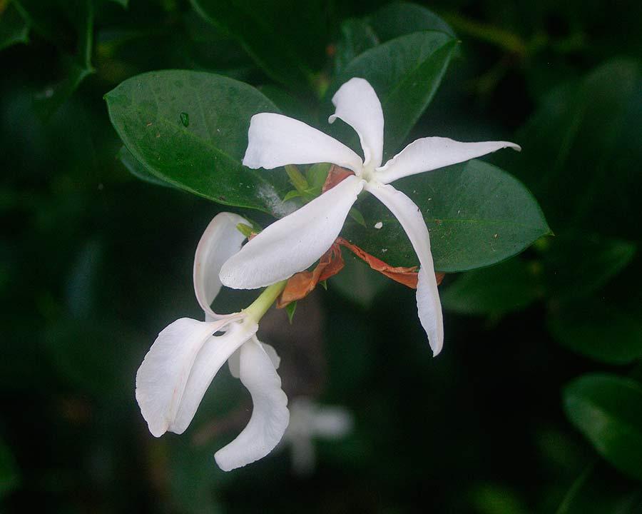 Carissa macrocarpa - Natal Plum has white fragrant jasmine like flowers