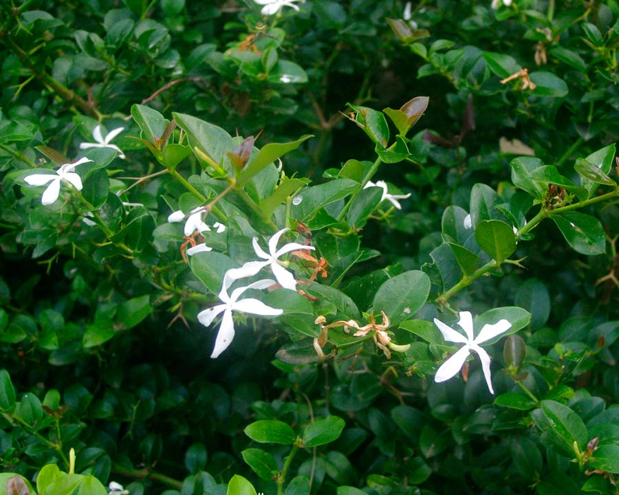 White jasmine like flowers in summer - Carissa macrocarpa or Natal Plum