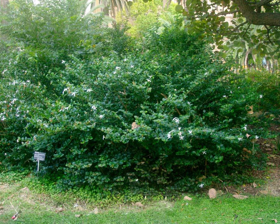 Carissa macrocarpa or Natal Plum is a spiny shrub with a bushy habit