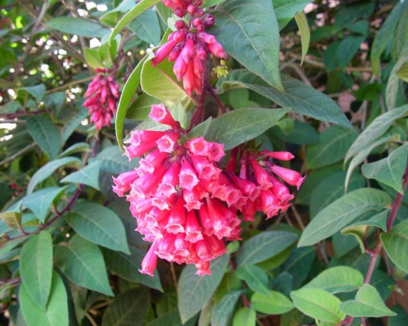 Cestrum elegans clusters of pink tubular flowers -