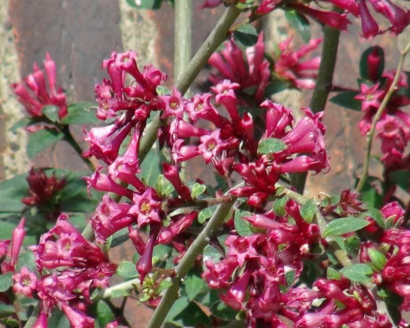 Cestrum elegans - deep pink tubular flowers