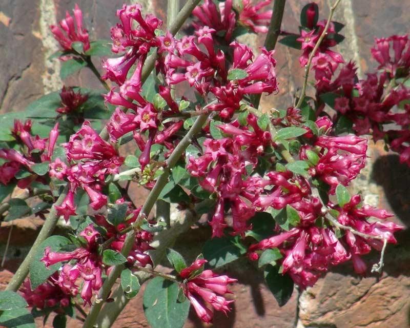 Cestrum elegans - the butterfly flower or Red cestrum