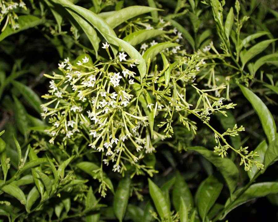 Cestrum nocturnum - Queen of the night -long tubular white flowers that open at night