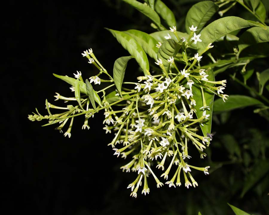 Cetstrum nocturnum - Dama de Noche - strong fragrance at night, hence the name - photo Jill Triay