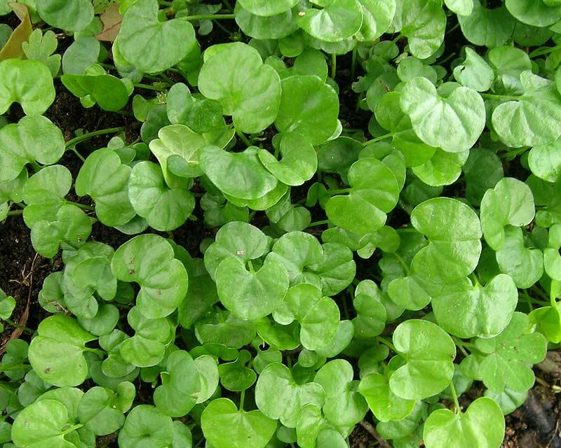 gardensonline  dichondra repens