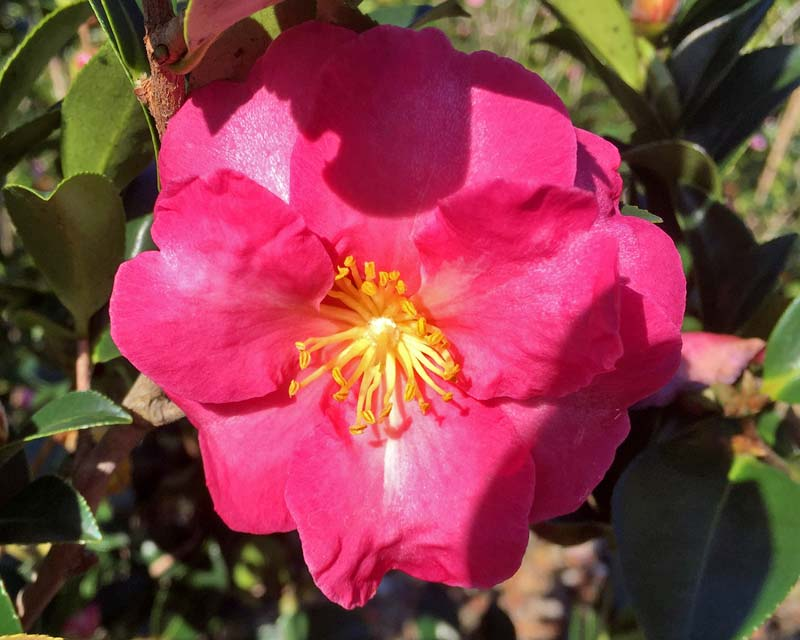 Shishi gashira camellia care to learn