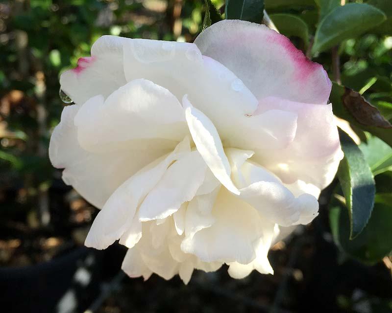 Gardensonline camellia sasanqua cultivars camellia sasanqua pure silk open flowers white outer petals have slightly pink edges mightylinksfo