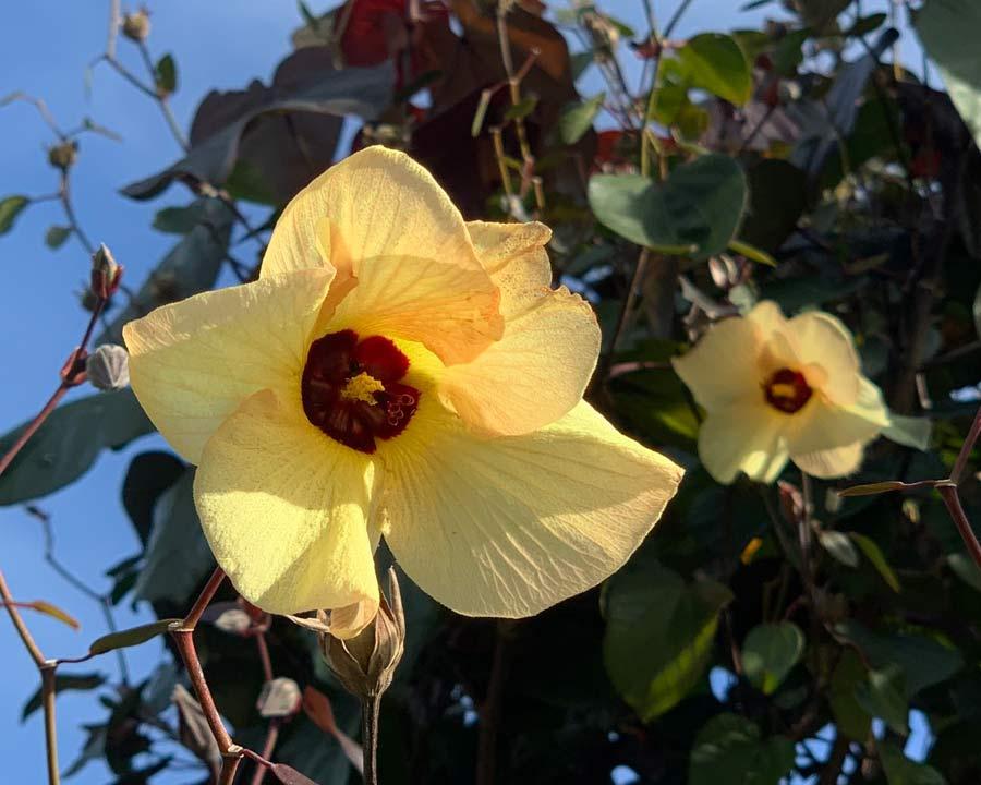 Hibiscus Tiliaceus Gardensonline