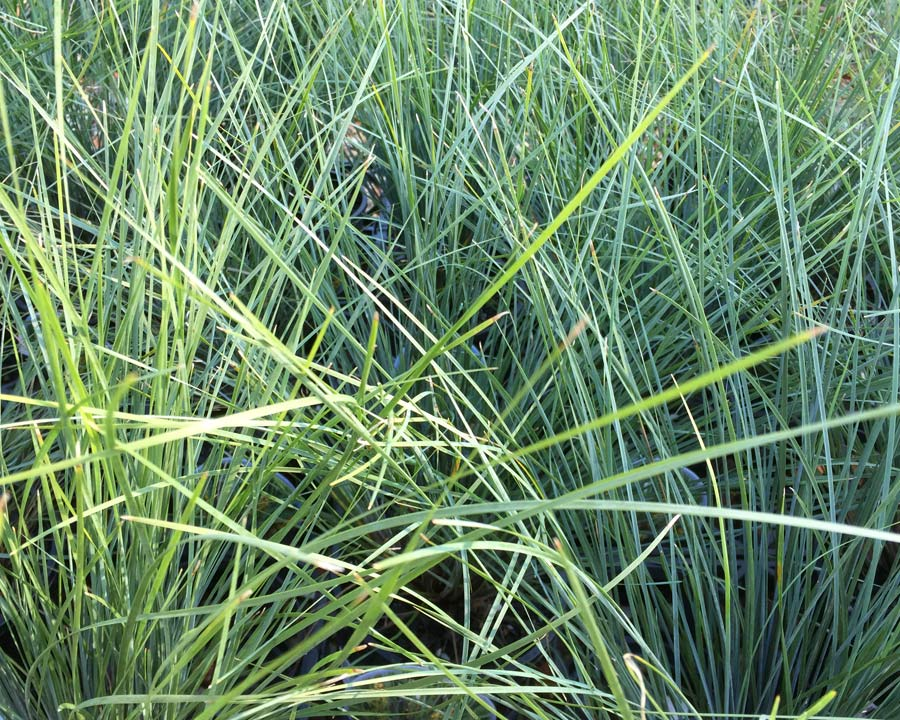 Lomandra 'Frosty Top' fine grey green foliage - leaves have slighty blue hue when young