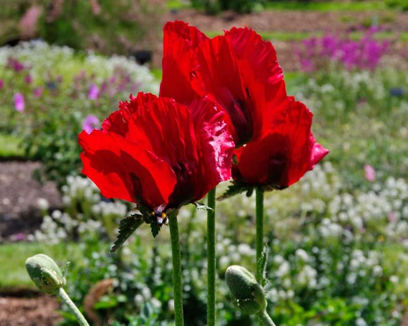 Papaver orientale, the Oriental Poppy