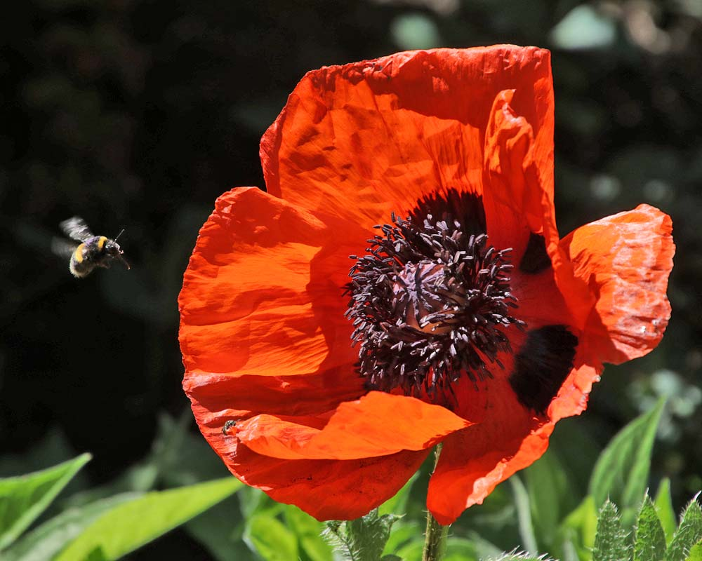 Papaver orientale - the Oriental Poppy, the is 'Beauty of Livermere'